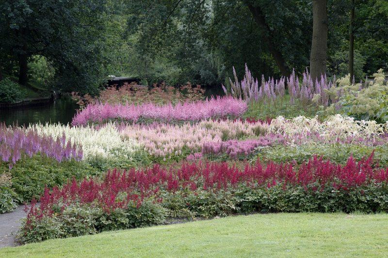 astilbe garden landscaping flowers