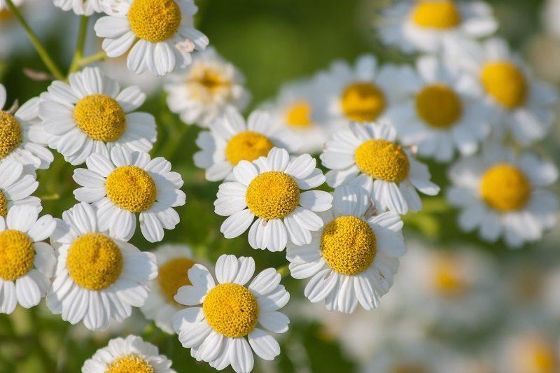 feverfew flowers weeds