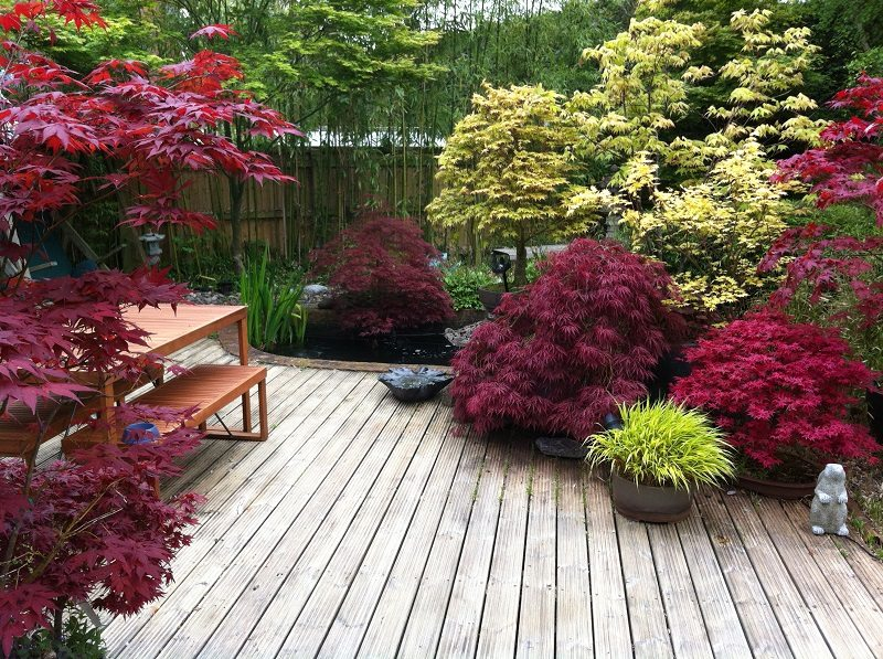 Japanese maple garden tree landscaping