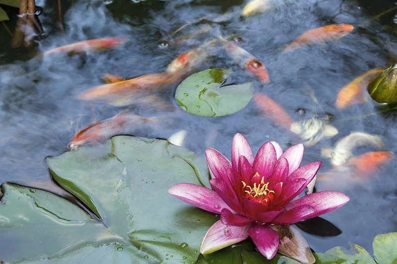 koi fish pond pink water lily